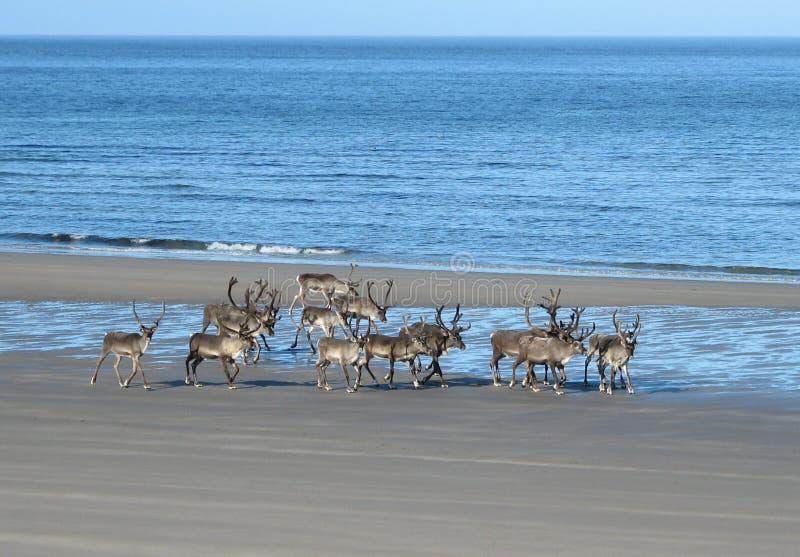 Ren auf dem Strand lizenzfreie stockfotografie