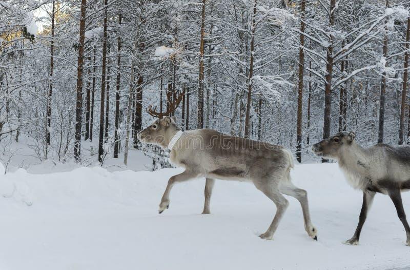 Ren auf Schnee Der Winter auf Schwedisch Lappland stockfotos