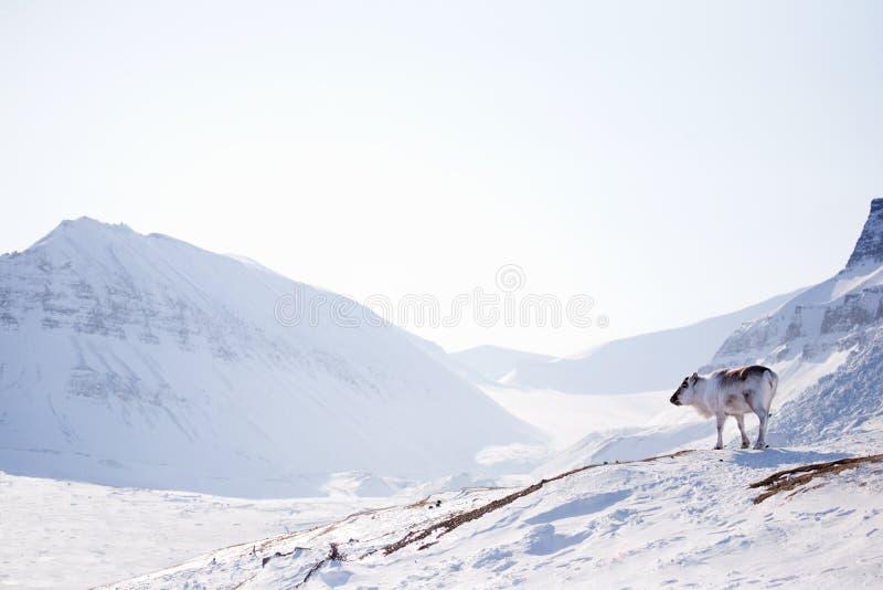 Ren auf Winter-Landschaft stockfotografie
