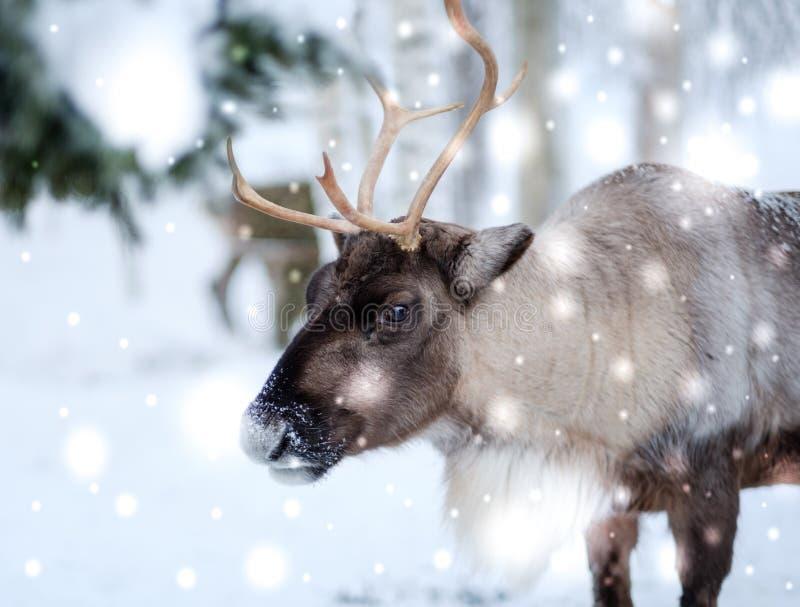 Ren i Lapland, nordliga Finland arkivbild