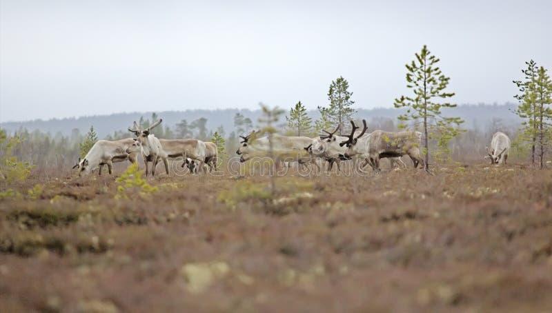 Ren i skogar och träsk av Lapland royaltyfria bilder