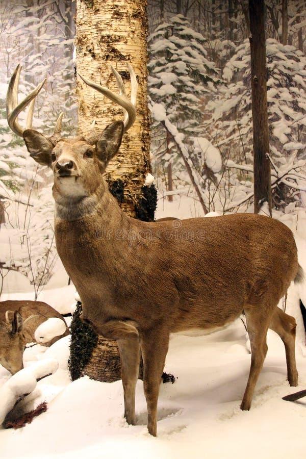 Ren i snöig skog arkivfoton