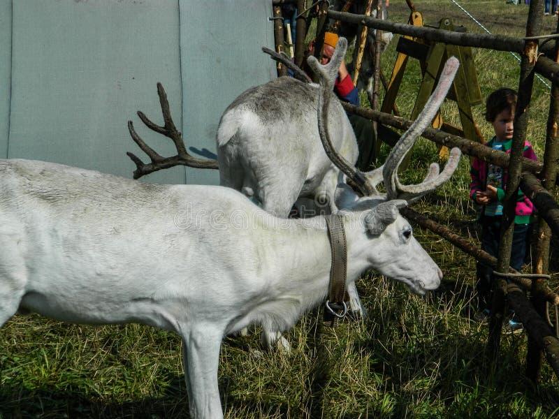 Ren im russischen Zoo lizenzfreie stockfotos