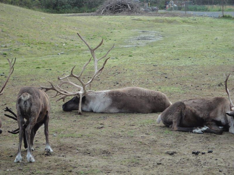 Ren-Karibu in Alaska weiden lassend auf einem grasartigen Gebiet Zusammen gruppiert als Herde lizenzfreies stockbild