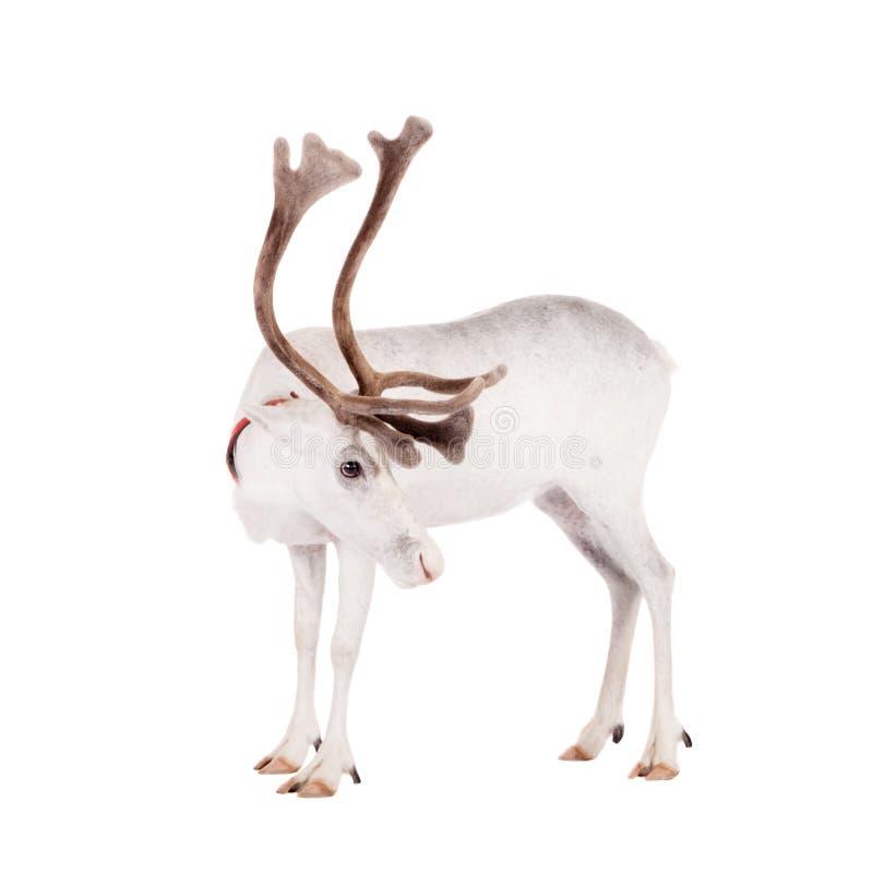 Ren oder Karibu, auf dem weißen Hintergrund stockfoto