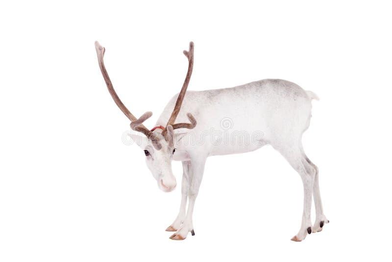 Ren oder Karibu, auf dem weißen Hintergrund stockfotos