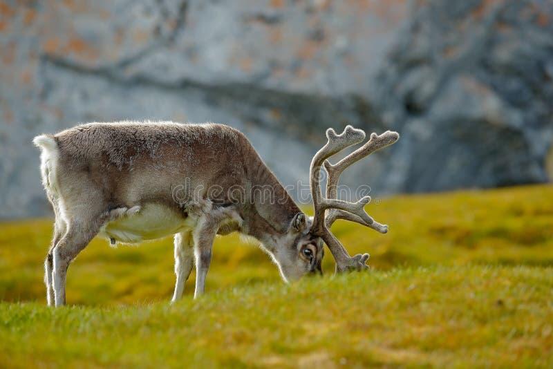 Ren Rangifertarandus, med massiva horn på kronhjort i det gröna gräset, Svalbard, Norge Svalbard hjortar på ängen i Svalbard W royaltyfria bilder