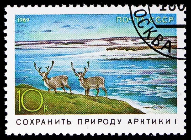 Ren (Rangifertarandus), naturvårdserie, circa 1989 royaltyfri foto