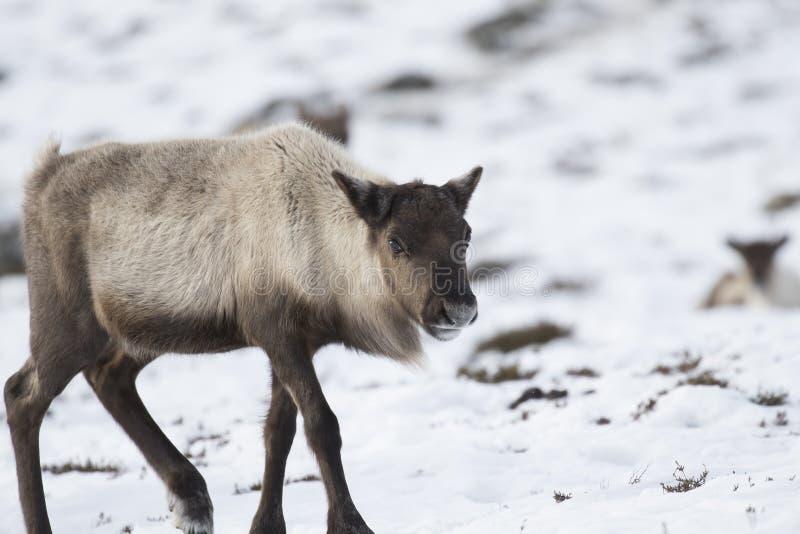 Ren Rangifertarandus och att beta som söker efter föda i snön på en blåsig kall vinterdag på en kulle i röktopasnationalparken, royaltyfri bild