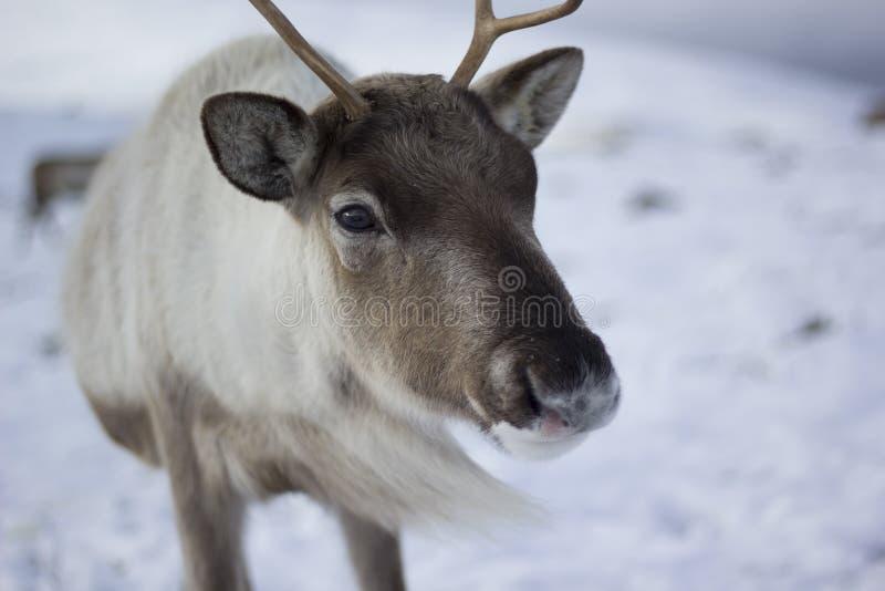 Ren Rangifertarandus och att beta som söker efter föda i snön på en blåsig kall vinterdag på en kulle i röktopasnationalparken, royaltyfri foto