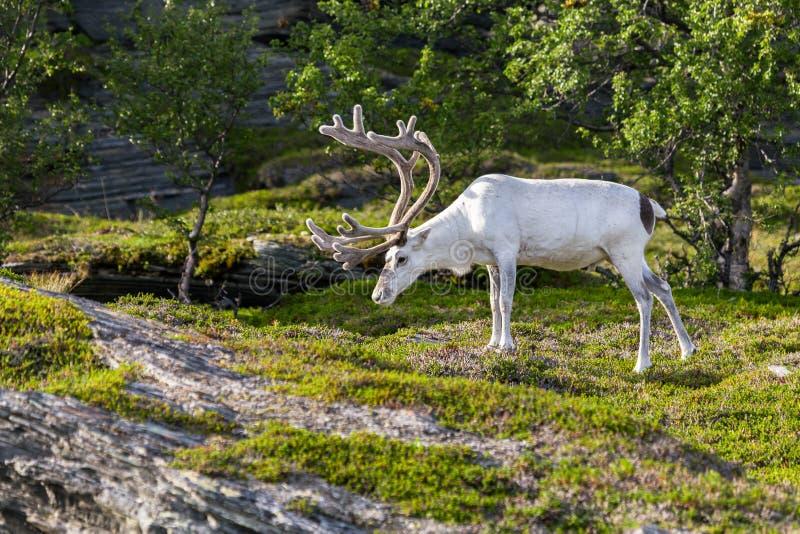 Rena branca dos povos de Sami ao longo da estrada em Noruega fotografia de stock