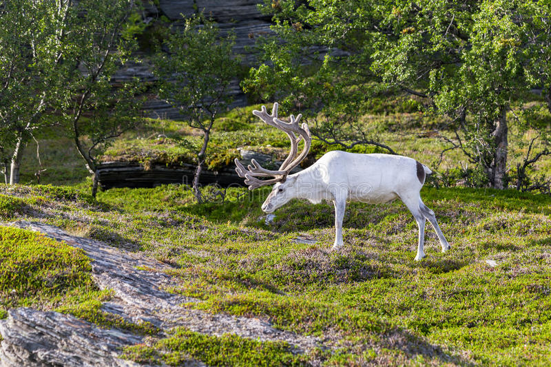 Rena branca dos povos de Sami ao longo da estrada em Noruega foto de stock royalty free