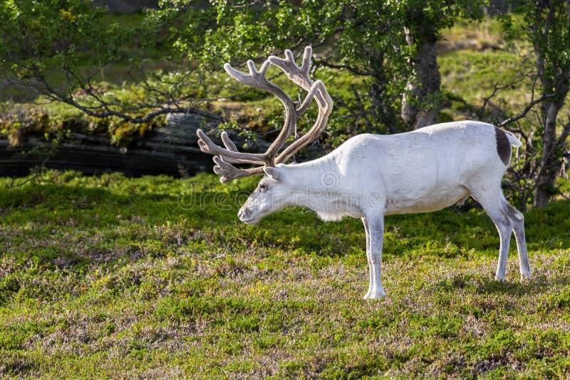 Rena branca dos povos de Sami ao longo da estrada em Noruega fotos de stock