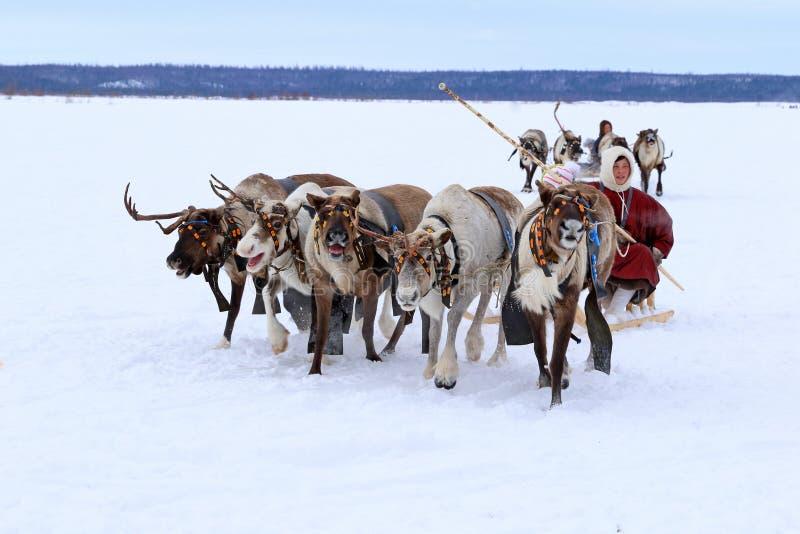Rena de Nenets que compete através da tundra fotografia de stock