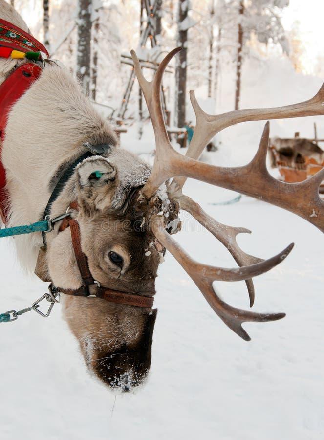 Rena do Natal imagem de stock royalty free