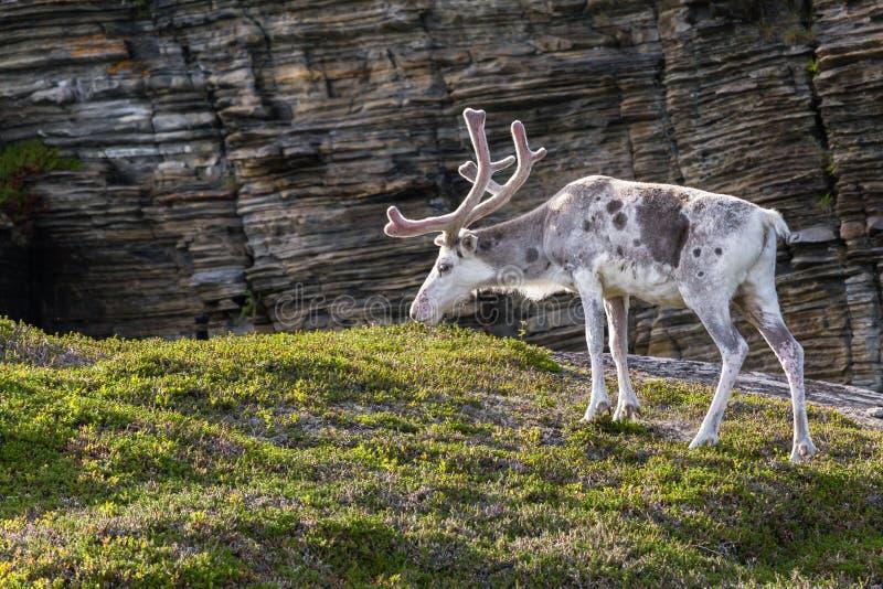 Rena dos povos de Sami ao longo da estrada em Noruega fotografia de stock royalty free