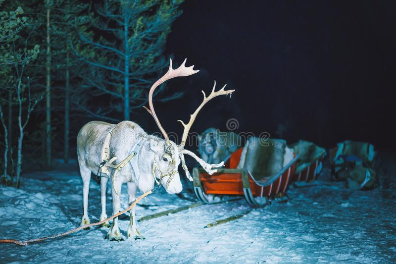 Rena em Finlandia em Lapland na noite do inverno imagens de stock royalty free
