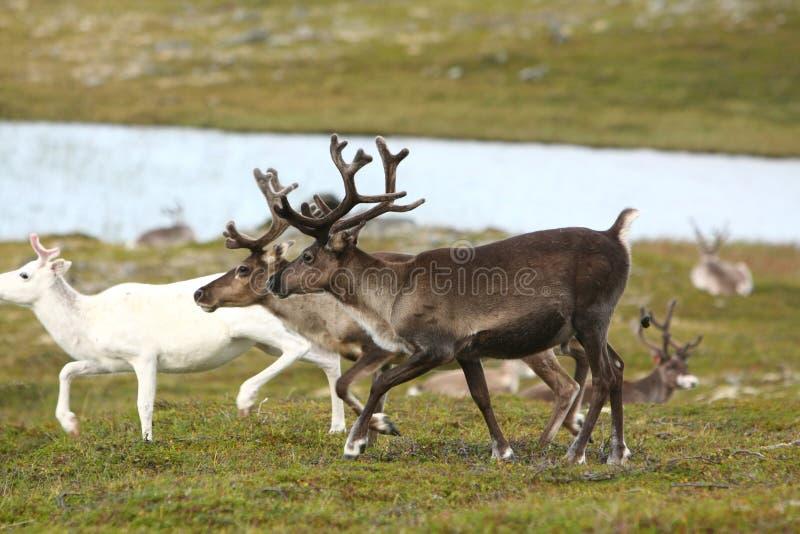 Rena em Noruega foto de stock royalty free