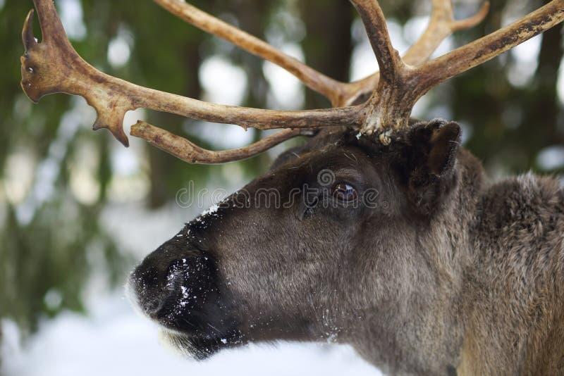 Rena em seu ambiente natural em Escandinávia imagens de stock royalty free