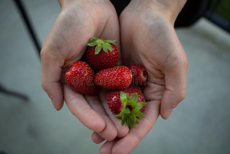 Rena organiska jordgubbar för handfull på en konkret uteplats royaltyfria bilder