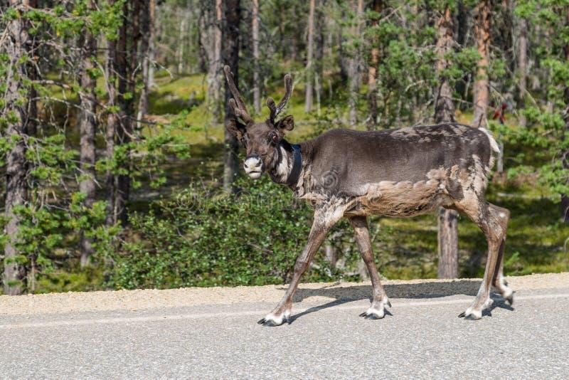 Rena que anda ao longo da estrada em Finlandia imagens de stock royalty free
