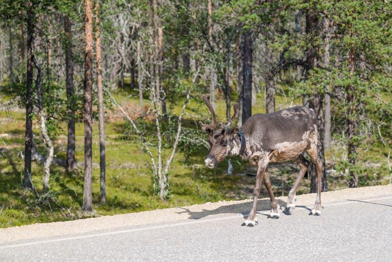 Rena que anda ao longo da estrada em Finlandia fotografia de stock