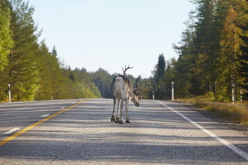 Rena que cruza uma estrada em Finlandia Paisagem finlandesa Curso fotografia de stock