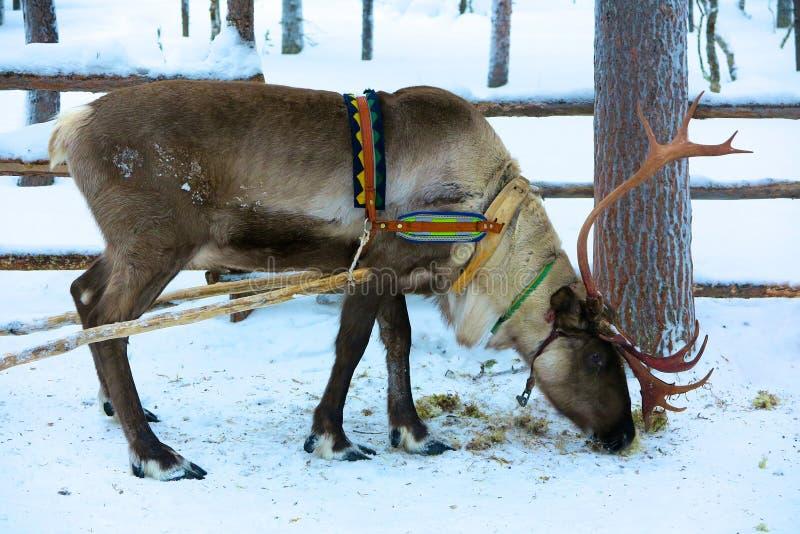 Rena que pasta na neve em Lapland, Finlandia imagem de stock