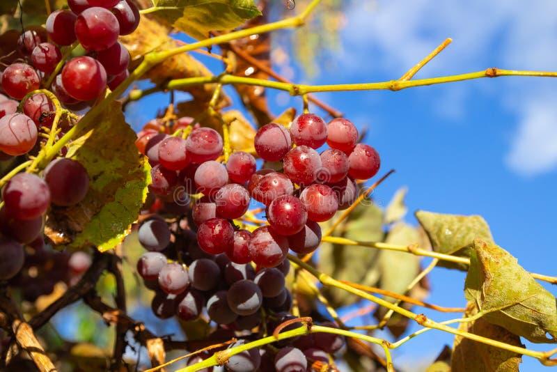 Rena röda druvor mot blå himmel royaltyfri fotografi