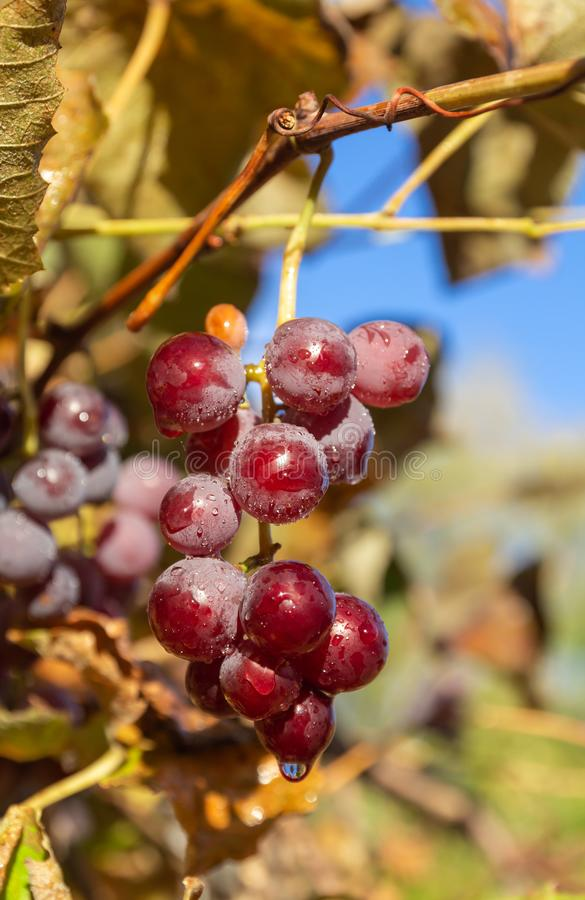 Rena röda druvor mot blå himmel royaltyfri foto