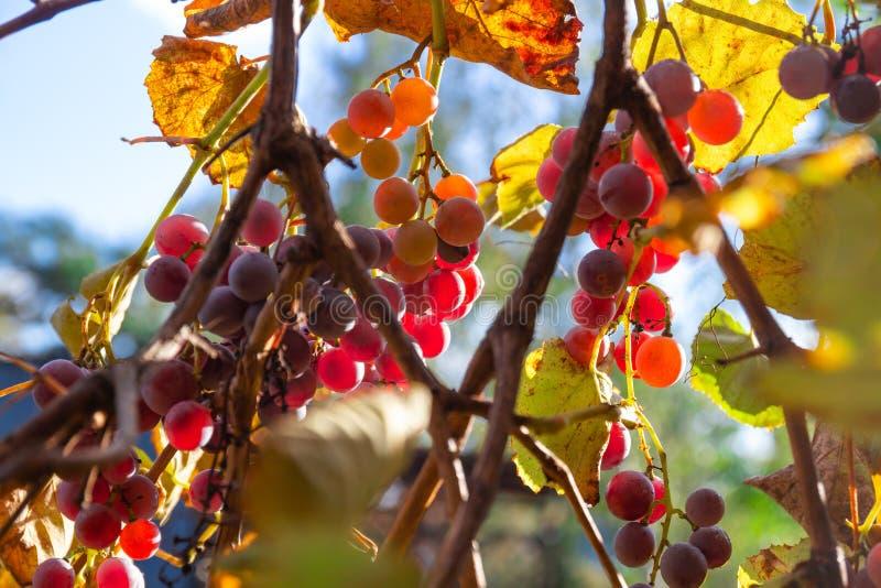 Rena röda druvor mot blå himmel fotografering för bildbyråer