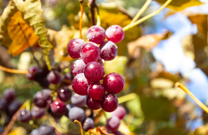 Rena röda druvor Vineyard Nature, bakgrund royaltyfri bild