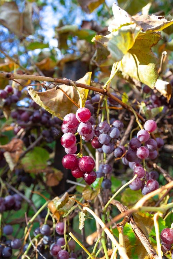 Rena röda druvor Vineyard Nature, bakgrund arkivfoton