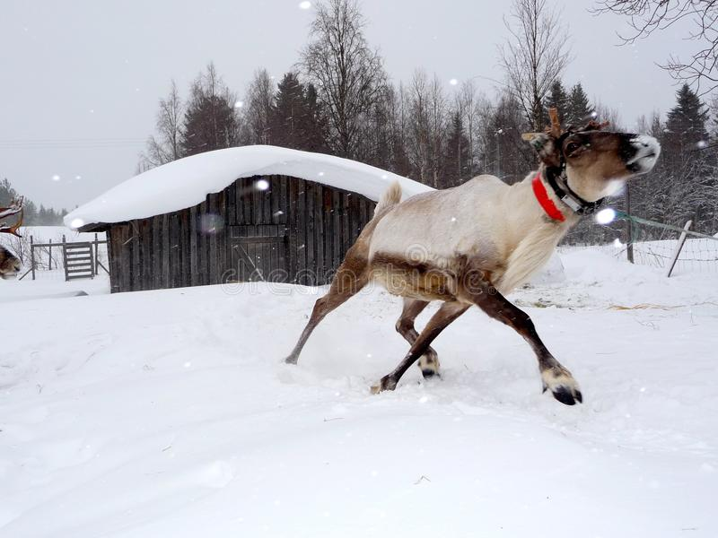 Rena running Santa Claus de espera imagem de stock royalty free