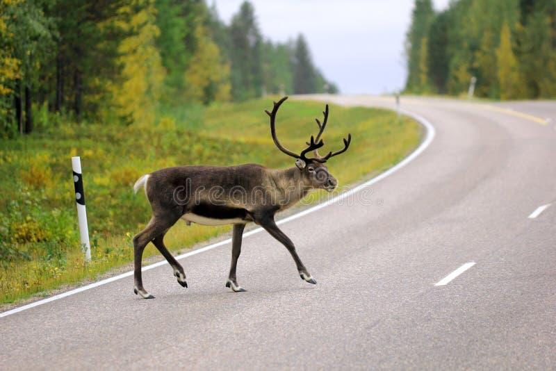 Rena selvagem que cruza a estrada no Sweden fotos de stock royalty free
