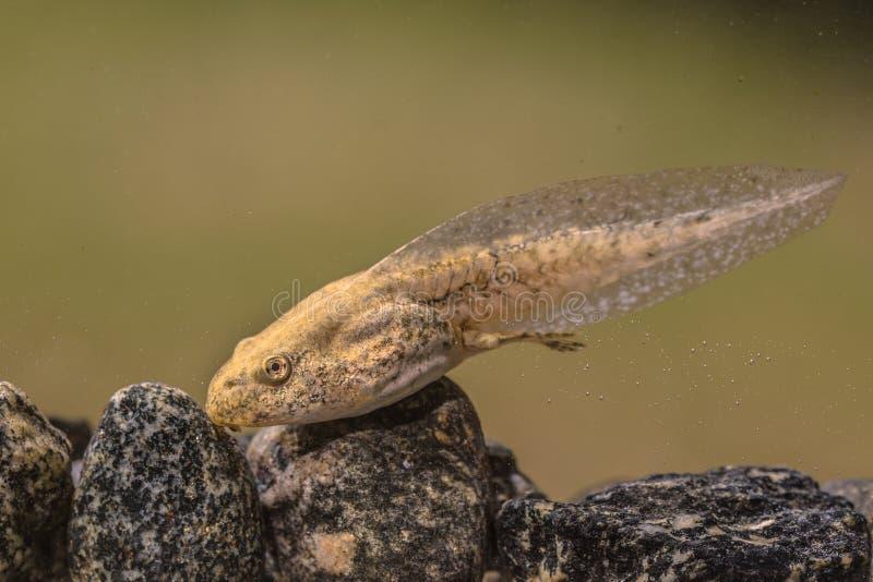 Renacuajo de la rana de Phelophylax fotos de archivo