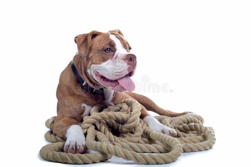 Renaissance Bulldog stock photo