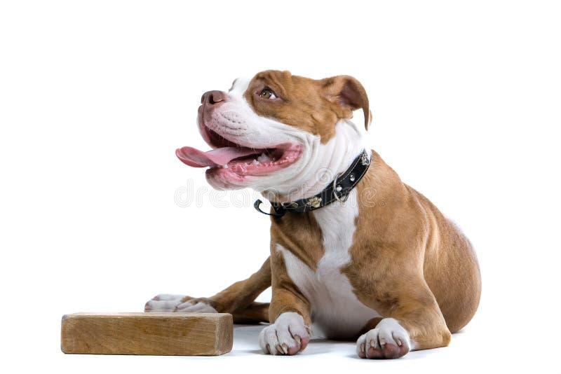 Renaissance Bulldog royalty free stock photos