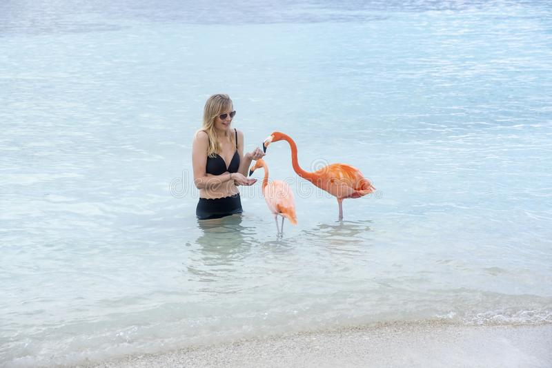 Young Woman with Long Blond Hair in Black Bikini Feeding Pink Flamingos on the Beach stock images