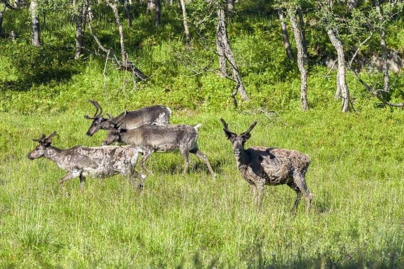 Renar i den naturliga miljön, Roros region royaltyfri fotografi