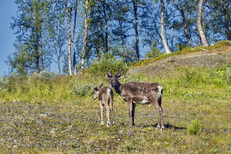 Renar i den naturliga miljön, Roros region royaltyfria foton