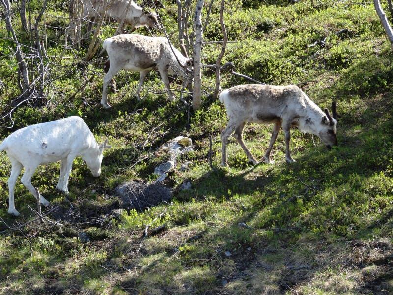 Renar i tromsoregionen Norge för naturlig miljö royaltyfria foton