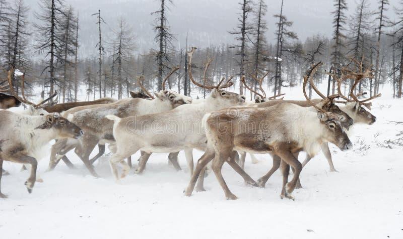 Renar Vinter Yakutia arkivbild