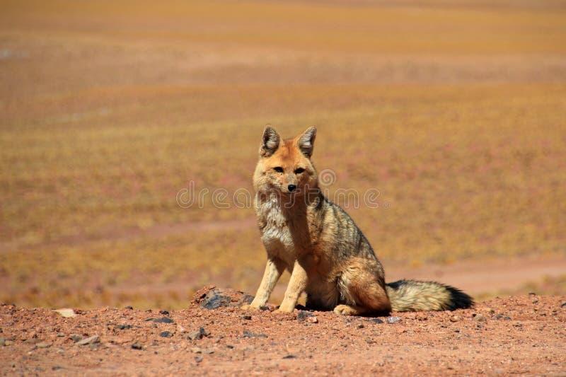 Renard andin, culpaeus de lycalopex, également connu sous le nom de culpeo de zorro Désert d'Atacama, Chili photos stock