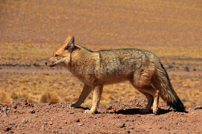 Renard andin, culpaeus de lycalopex, également connu sous le nom de culpeo de zorro Désert d'Atacama, Chili photos libres de droits