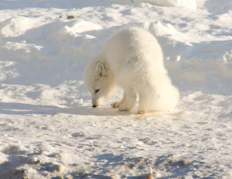 Renard arctique image libre de droits