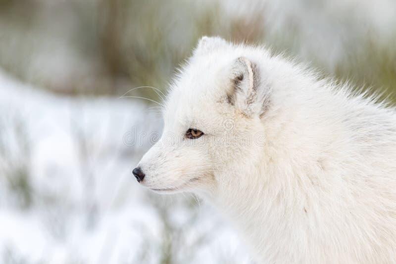 Renard arctique avec la fourrure d'hiver, l'animal masculin, regardant à la gauche, à la neige et aux buissons à l'arrière-plan photographie stock libre de droits