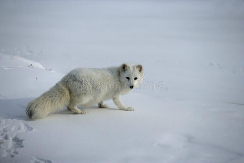 Renard arctique, lagopus d'Alopex photo stock