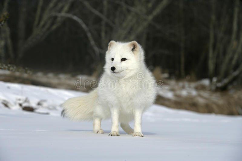 Renard arctique, lagopus d'Alopex photographie stock libre de droits