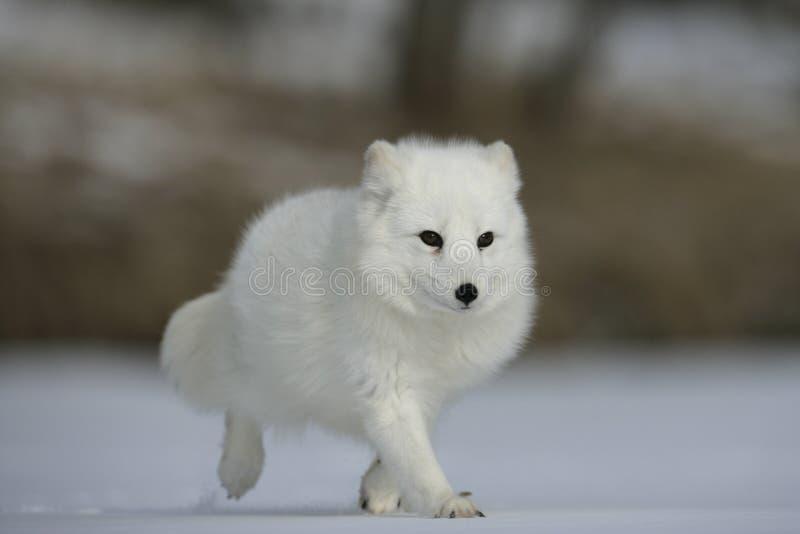 Renard arctique, lagopus d'Alopex photos stock